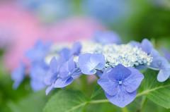 * (@_chan) Tags: hydrangea ajisai 紫陽花 あじさい 権現堂