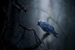Jackdaw (Jyrki Salmi) Tags: bird forest finland dark nikon jyrki kotka jackdaw salmi naakka tervalepplehto