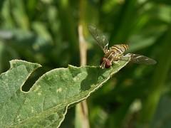 Toxomerus politus (carlos mancilla) Tags: insectos flies moscas olympussp570uz toxomeruspolitus