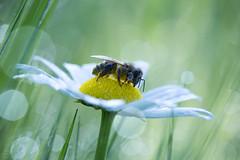 (Emilien Gass) Tags: morning flower macro green grass canon garden bokeh bee