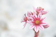 shock (robra shotography []O]) Tags: pink white blur flower macro closeup rosa highkey fiore bianco sempervivumarachnoideum sooc