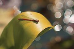 Large Red Damselfly (lewist584) Tags: macro insect pond bokeh gimp luxembourg portra damselfly manualfocus largereddamselfly manuallens m42mount gmic lieler helios85210mmf38 emount sonynex5r lewist584
