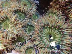 Yaquina Head tide pools, aggregating anemones (BLMOregon) Tags: underwater sealife pacificocean newport pacificnorthwest oregoncoast yaquinahead tidepools tidepool pacificcoast oceanlife newportoregon yaquina underwaterlife