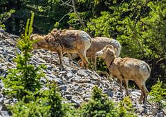 female bighorn sheep - sulphur mtn, banf NP, canada (AB) 7 (Russell Scott Images) Tags: canada mountains rocky ab canadian alberta banff banffnationalpark bighornsheepoviscanadensis