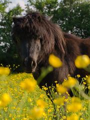 Vinca (Thea Barten) Tags: summer horse yellow buttercup outdoor pony