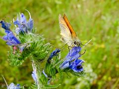 Braunkolbiger Braun-Dickkopffalter (Fotoamsel) Tags: deutschland tiere natur wiese insekten schmetterling goslar niedersachsen braunkolbigerbraundickkopffalter