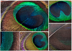 Variations sur une plume de paon (Joanne Levesque) Tags: abstract macro texture lines collage feather peacock lignes plume paon abstrait nikond90 micronikkor40mmf28