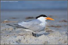 IMG_9588-Royal-Tern-(6-26-16)(border) (davidbbernstein1) Tags: beach birds royaltern cocoa davidbernstein dbbphotography wwwdbbphotographycom davidbbernstein