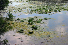 More water lilies (Terryryan1) Tags: chicagobotanicgarden waterlily sky reflection blue