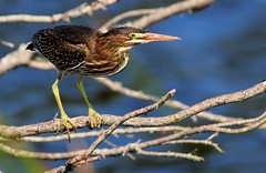 Green Heron (dianne_stankiewicz) Tags: allnaturesparadise