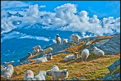 Draw me a sheep on the Matterhorn .Up in this picture You can see the pic of the Dom. No, 2360. (Izakigur) Tags: sheep feel dome sheeps oveja thelittleprince juh dieschweiz musictomyeyes fr schaap pecora myswitzerland lasuisse hausschaf    drawmeasheep d700 nikond700 nikkor2470f28 izakigur laventuresuisse tamfr owcadomowa