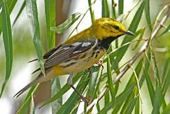 Black-throated Green Warbler (1krispy1) Tags: blackthroatedgreenwarbler warblers woodwarbler texasbirds