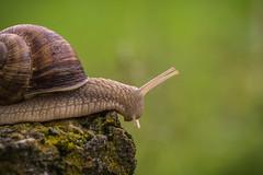Schnecke (sergei.ribant) Tags: macro nature nikon bokeh snail makro schnecke gastropoda weinbergschnecke d7100