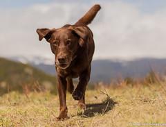 Focus (KB RRR) Tags: dog colorado rockymountains frontrange chocolatelabrador shyla
