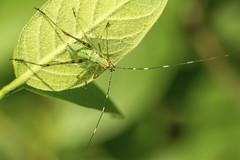 Katydid Nymph (mangoldm) Tags: green leaf cricket grasshopper katydid
