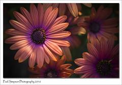Nice Summer Flowers (Paul Simpson Photography) Tags: flowers plant flower nature daisies petals daisy pollen naturalworld pinkflowers photosof imageof photoof imagesof sonya77 paulsimpsonphotography june2016 nicephotosofflowers