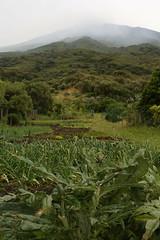 Fertile Stromboli (Derbyshire Harrier) Tags: green vegetables rain mediterranean onions lush volcanic artichoke damp stromboli aeolianislands kitchengarden fertile lowcloud 2016 activevolcano
