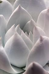Dudleya brittonii (2) (jeffs bulbesetpots) Tags: dudleya brittonii