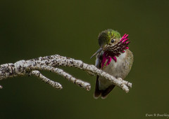 Calliope Hummingbird, Utah (ebuechley) Tags: utah scenery hummingbird wildlife birding conservation
