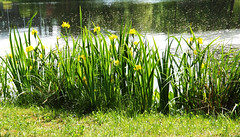 June Flowers(05) (rimasjank) Tags: flowers summer lake nature grass garden botanical blossom lithuania kairenai