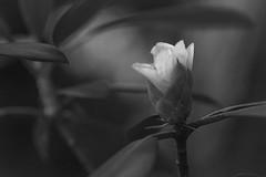 emerging floral form, rhodedendron, Asheville, NC, Nikon D40, nikon nikkor 105mm f-4, 6.9.16 (steve aimone) Tags: blackandwhite flower macro floral monochrome asheville blossom northcarolina monochromatic rhododendron bud emerging primelens nikond40 nikonprime floralform nikonnikkor105mmf4