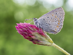 Dew droplets (Ramn Menndez Covelo) Tags: macro nature butterfly droplets drops small olympus dew zuiko flares