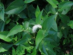 White Flower (samfeinstein) Tags: flower canon whiteflower s100 pineypoint
