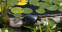 Painted Turtle - Dutch Lake BC (Select42) Tags: lake nature water animal landscape outdoors log outdoor turtle lilypad paintedturtle lakescape