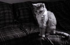 Princess (JVLam2012) Tags: pet monochrome cat blackwhite still nikon sigma 50mmf28 d80