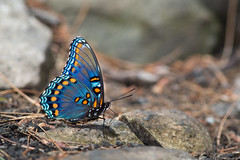 Red-spotted Purple (Limenitis arthemis astyanax). State College, PA. (Zachary Cava) Tags: blue orange butterfly insect lepidoptera iridescent mimicry entomology limenitis nymphalidae limenitisarthemis redspottedpurple limenitisarthemisastyanax limenitidinae batesianmimicry redspottedadmiral batesianmimic polytypic