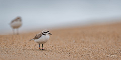Uncertain Future (craig goettsch) Tags: snowyplover salinasrivernwr bird avian threatened endangered california montereypeninsula sand beach nikon d710 600mm springtrip2016 smugmugproofs