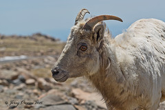 8210 (JerrysPhotographs) Tags: mammal colorado sheep wildlife mtevans bighornsheep