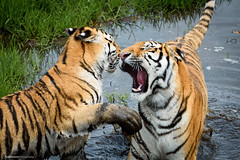 Tigers at Play (Colour) (TDG-77) Tags: park animal cat big nikon wildlife yorkshire tiger d750 siberian tamron vc amur 150600mm