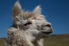 Alpaca (cheryl strahl) Tags: wool alpaca peru southamerica inca eyes fiber sheared domesticated sacredvalleyoftheincas urubambavalley sacredvalleyoftheinca