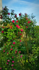 Ever, ever i promised You a rose garden (eagle1effi) Tags: red rose redrose sunny rosen rosegarden rosengarten tbingen s5 bauerngarten hhn sunsettime waldhausen