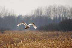 Mute swan in flight (P_1_B) Tags: bird nature suffolk swan wildlife sony birding sigma birdwatching muteswan rspb lakenheathfen swaninflight sigma150500 rspblakenheathfen muteswanflying muteswaninflight sonya77 slta77 sonya77ii slta77ii