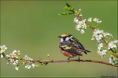 Springtime Chestnut-sided Warbler (Daniel Cadieux) Tags: spring ottawa blooms warbler songbird whiteflowers chestnutsidedwarbler