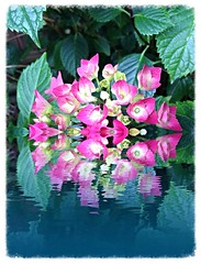 Reflections (Brenda Boisvert) Tags: pink reflections blossoms hydrangea but blooms