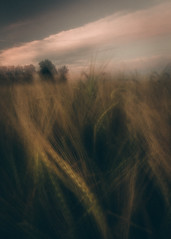 Parting Ways (explored 27/6/16) (Andy Parslow) Tags: field grass landscape photography icm eveninglight intentionalcameramovement