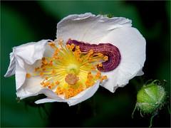 Caterpillar on Multiflora Rose (Small Creatures) Tags: macro rose closeup diy nikon caterpillar diffuser multiflora objective p7000 cycloptic popupflash americanoptical coolpixp7000 supplementallens