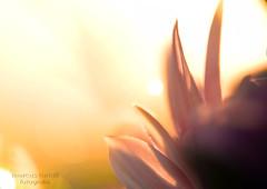 Ensueo (marcus turkill) Tags: flowers summer flores macro nikon verano macrophotography macrofotografia nikond3300