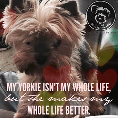 Absolutely! (itsayorkielife) Tags: yorkiememe yorkie yorkshireterrier quote