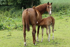 (allenreavie.photography) Tags: horse mare foal canon 7d