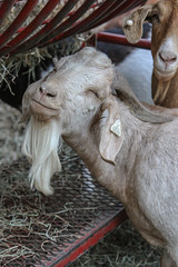 Do I look high? (Shutter Photography of Bedford Va) Tags: animals goat farm pa canon50d outdoors