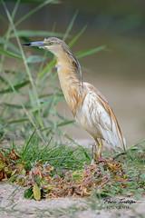 Garcilla cangrejera al acecho (Paco Tortosa) Tags: parquenaturaldelaalbufera aves albufera garcillacangrejera oroval ardeolaralloides arrozal