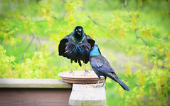 Grackles (forgetmenot777) Tags: black bird colors spring birdfeeder couples grackle pairs blackbird