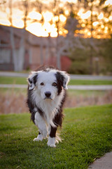 Sunset Stalkings (Anda74) Tags: bordercollie ouzo stalking canonef70200mmf28lusm
