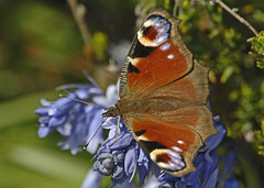 a peacock butterfly on grape hyacinth (GVG Imaging) Tags: birmingham d2x thegarden peacockbutterfly telemacro primelens sigma300mmf4 pypehayespark mygearandme mygearandmepremium mygearandmebronze mygearandmesilver mygearandmegold