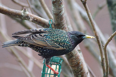 Starling1 (catman1515) Tags: starling scottishwildlife