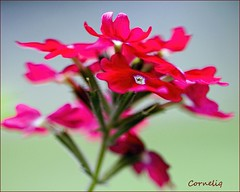 ...pink, pink and pink!!  (`* corneliq `*) Tags: pink flowers autumn macro garden coth nikond300